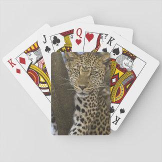 Africa. Tanzania. Leopard in tree at Serengeti Poker Deck