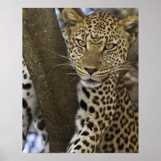 Africa. Tanzania. Leopard in tree at Serengeti Poster