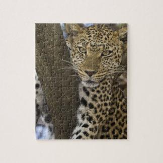 Africa. Tanzania. Leopard in tree at Serengeti Puzzles