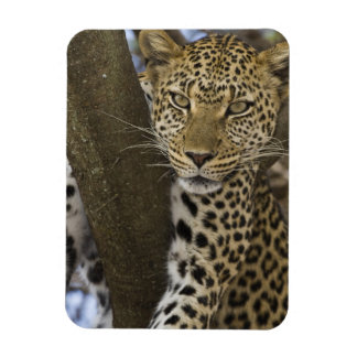 Africa. Tanzania. Leopard in tree at Serengeti Rectangular Photo Magnet