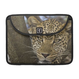 Africa. Tanzania. Leopard in tree at Serengeti Sleeve For MacBook Pro