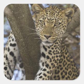Africa. Tanzania. Leopard in tree at Serengeti Square Sticker
