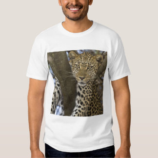 Africa. Tanzania. Leopard in tree at Serengeti Tees