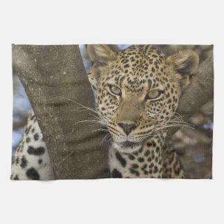 Africa. Tanzania. Leopard in tree at Serengeti Towels