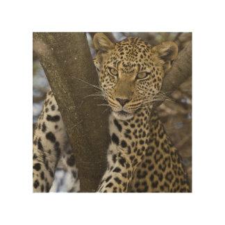 Africa. Tanzania. Leopard in tree at Serengeti Wood Prints