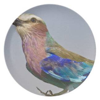 Africa. Tanzania. Lilac-Breasted Roller in Plate