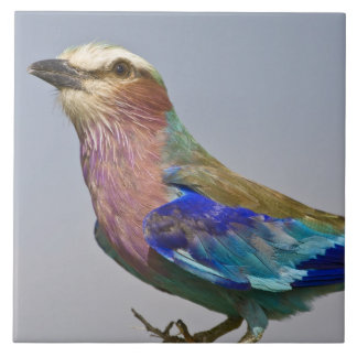 Africa. Tanzania. Lilac-Breasted Roller in Tile