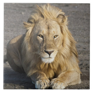 Africa. Tanzania. Male Lion at Ndutu in the Large Square Tile