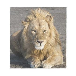 Africa. Tanzania. Male Lion at Ndutu in the Notepad