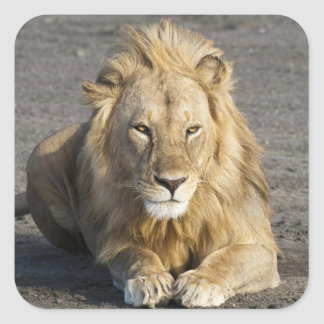 Africa. Tanzania. Male Lion at Ndutu in the Square Sticker