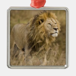 Africa. Tanzania. Male Lion at Ngorongoro Christmas Ornament