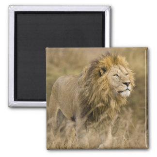 Africa. Tanzania. Male Lion at Ngorongoro Magnet
