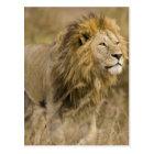 Africa. Tanzania. Male Lion at Ngorongoro Postcard