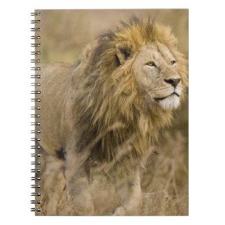 Africa. Tanzania. Male Lion at Ngorongoro Spiral Notebook