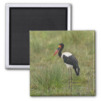 Africa. Tanzania. Male Saddle-billed Stork at Square Magnet