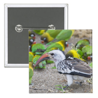 Africa. Tanzania. Red-billed Hornbill and 15 Cm Square Badge
