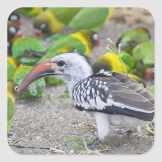 Africa. Tanzania. Red-billed Hornbill and Square Sticker