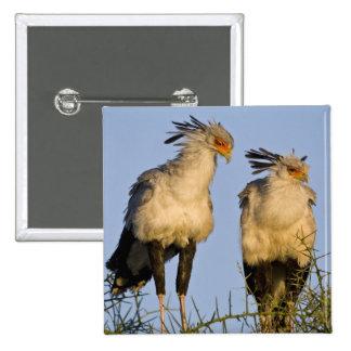Africa. Tanzania. Secretary Birds at Ndutu in 15 Cm Square Badge
