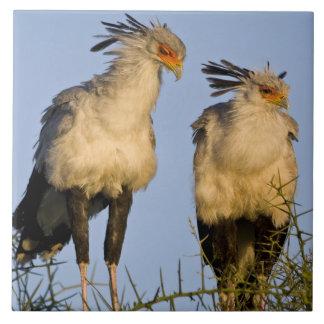 Africa. Tanzania. Secretary Birds at Ndutu in Large Square Tile