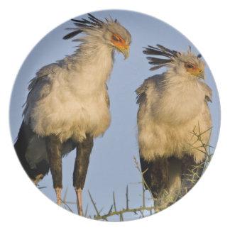 Africa. Tanzania. Secretary Birds at Ndutu in Party Plate