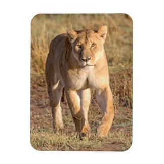 Africa, Tanzania, Serengeti. Lion And Lioness Rectangular Photo Magnet