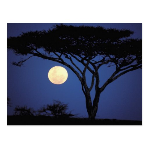 Africa, Tanzania, Tarangire. Acacia tree in Postcards