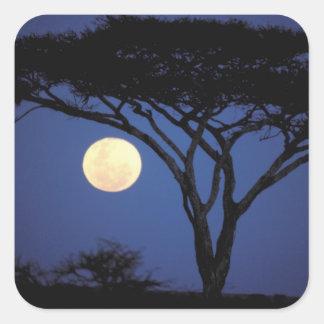 Africa, Tanzania, Tarangire. Acacia tree in Square Sticker