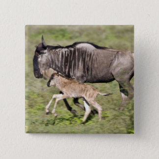 Africa. Tanzania. Wildebeest mother and baby at 15 Cm Square Badge