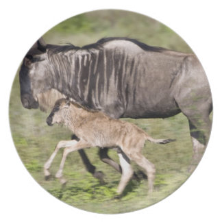 Africa. Tanzania. Wildebeest mother and baby at Plate