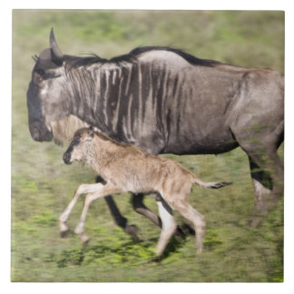 Africa. Tanzania. Wildebeest mother and baby at Tile