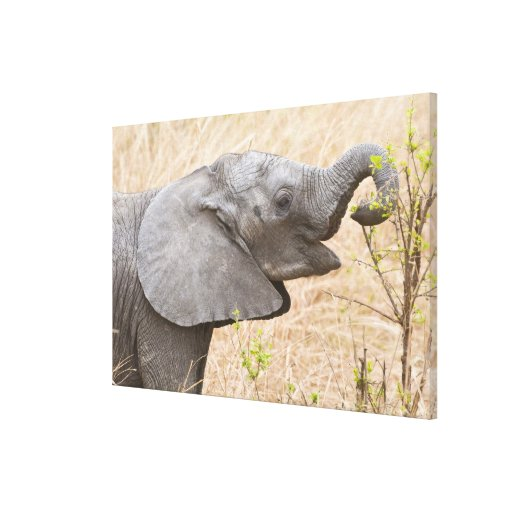 Africa. Tanzania. Young Elephant at Tarangire Gallery Wrapped Canvas