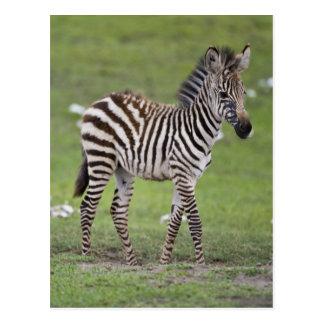Africa. Tanzania. Zebra colt at Ngorongoro 2 Postcard
