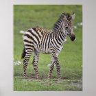 Africa. Tanzania. Zebra colt at Ngorongoro 2 Poster