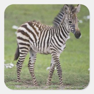 Africa. Tanzania. Zebra colt at Ngorongoro 2 Square Sticker