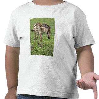 Africa. Tanzania. Zebra colt at Ngorongoro 3 T-shirt