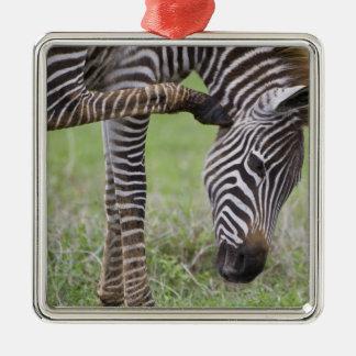 Africa. Tanzania. Zebra colt at Ngorongoro Christmas Ornament