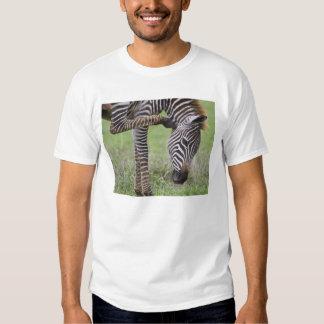 Africa. Tanzania. Zebra colt at Ngorongoro T Shirt