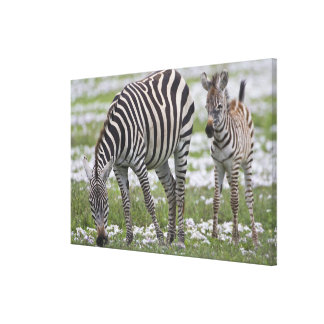 Africa. Tanzania. Zebra mother and colt at Canvas Print