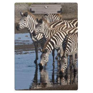 Africa. Tanzania. Zebras drinking at Ndutu in Clipboard