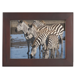 Africa. Tanzania. Zebras drinking at Ndutu in Keepsake Box