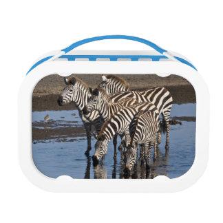 Africa. Tanzania. Zebras drinking at Ndutu in Lunchboxes