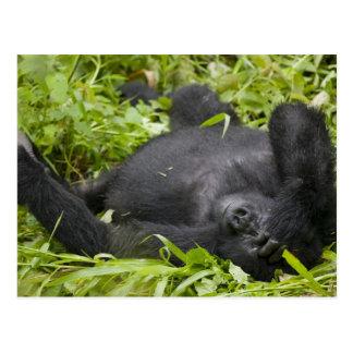 Africa, Uganda, Bwindi Impenetrable National 3 Postcard