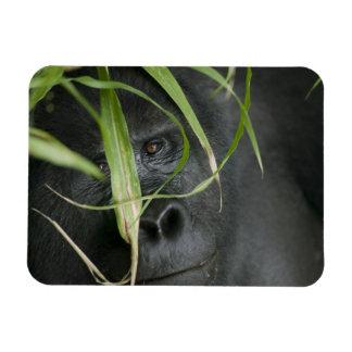 Africa, Uganda, Bwindi Impenetrable National 6 Rectangular Photo Magnet