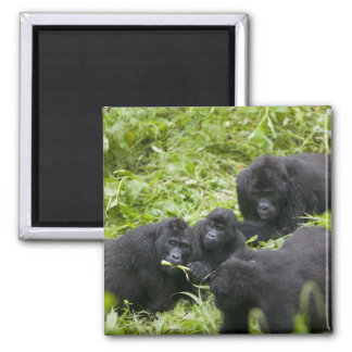 Africa, Uganda, Bwindi Impenetrable National 7 Magnet