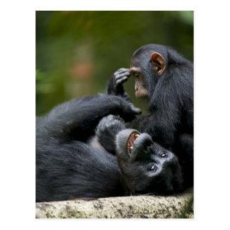 Africa, Uganda, Kibale Forest Reserve, Juvenile 2 Postcard
