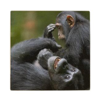 Africa, Uganda, Kibale Forest Reserve, Juvenile 2 Wood Coaster