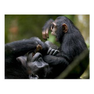 Africa, Uganda, Kibale Forest Reserve, Juvenile Postcard