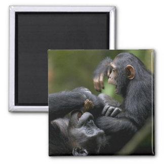 Africa, Uganda, Kibale Forest Reserve, Juvenile Square Magnet