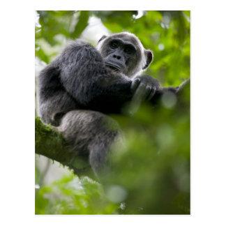 Africa, Uganda, Kibale Forest Reserve, Portrait 2 Postcard