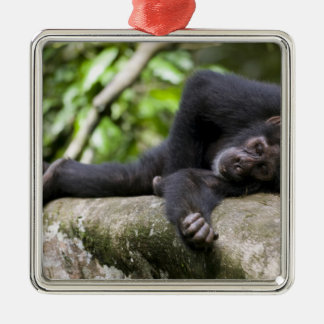 Africa, Uganda, Kibale Forest Reserve, Young Christmas Ornament